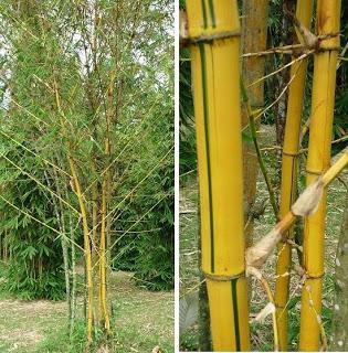 buluh+kuning+1